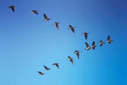 leadership development flock of geese